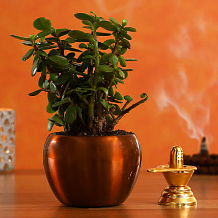 Shivling Jade Plant In Brass Pot