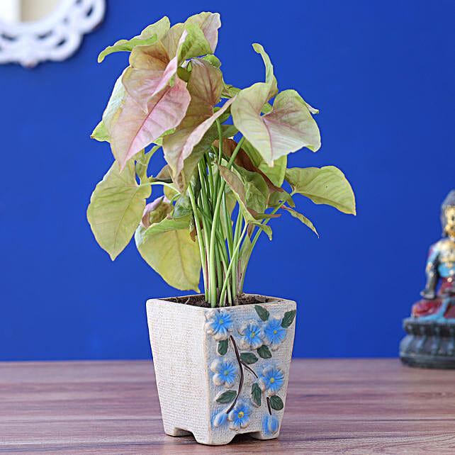 Syngonium Plant In Flower Embossed Pot:Ceramic Planters