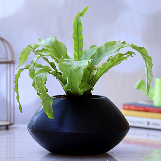 Bird Nest Fern Plant In Oval Black Pot:Ceramic Planters