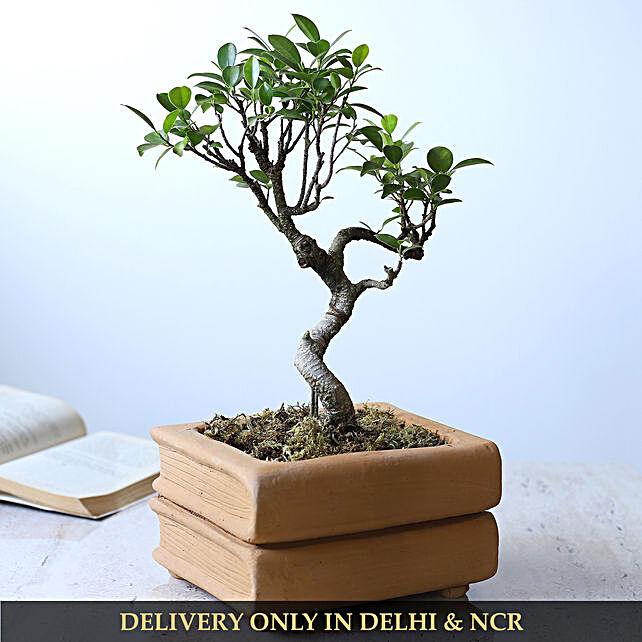 Ficus S Shape Bonsai Plant In Double Book Design Pot:Bonsai Tree