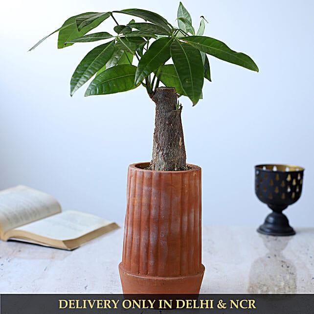 Pachira Bonsai Plant In Handmade Terracotta Pot