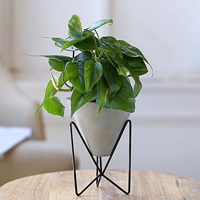 Oxycardium Plant In Triangular Pot With Stand