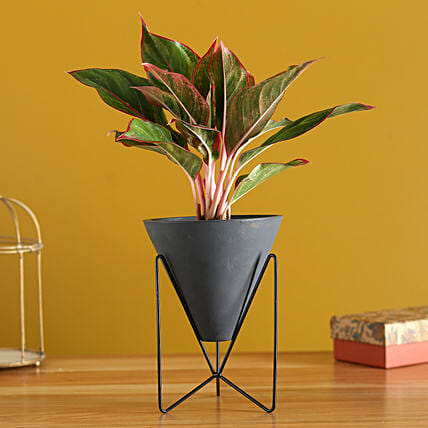 Red Aglaonema Plant In Triangular Pot With Stand