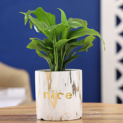 Peace Lily Plant In Golden White Pot