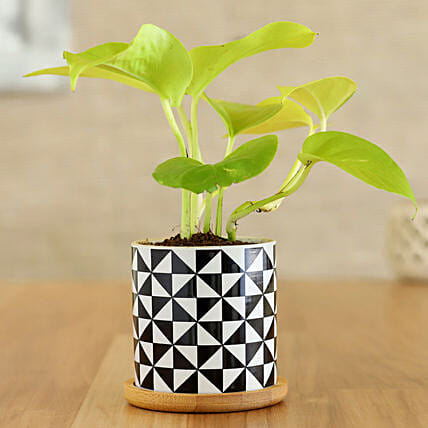 Golden Money Plant In Abstract Wooden Plate Pot