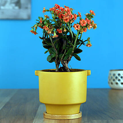 Orange Kalanchoe Plant In Yellow Pot With Wooden Plate:Ceramic Planters