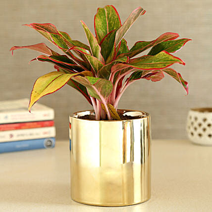 Red Aglaonema Plant In Golden Cylindrical Pot:Egyptian Art-planters