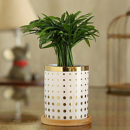 Chamaedorea Plant In Polka Dot Pot With Wooden Plate