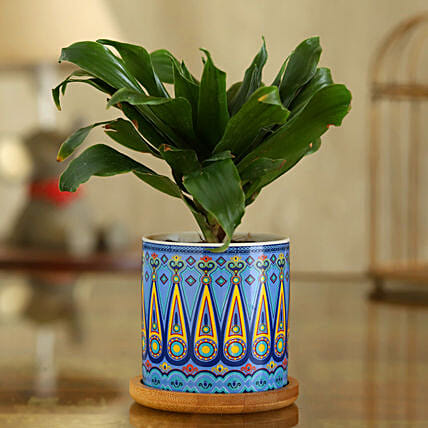 Dracaena Plant In Sky Blue Pot With Wooden Plate:Folk Art Planters