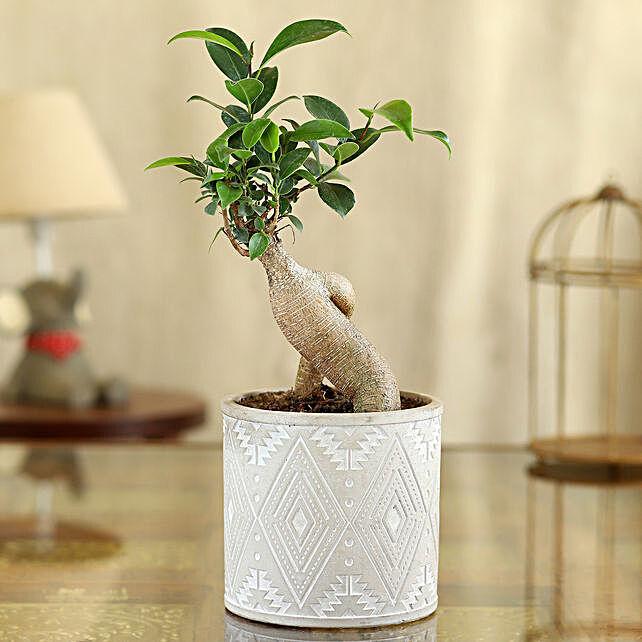 Ficus Bonsai Plant In Ivory Pipe Shape Pot