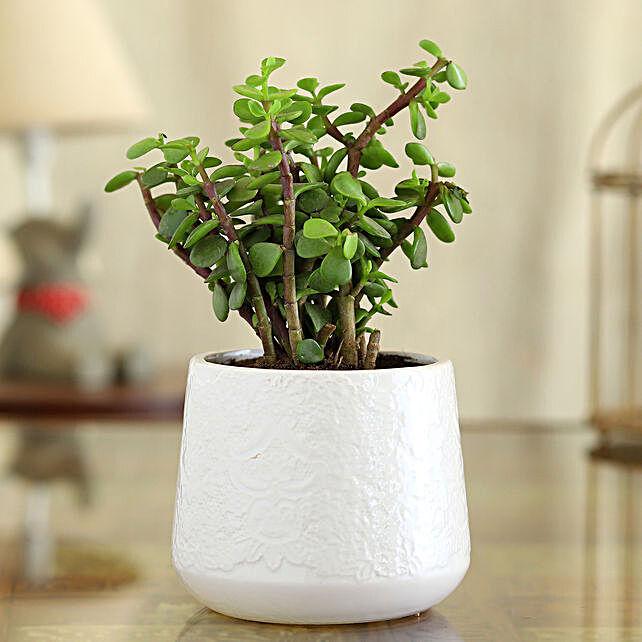 Jade Plant In White Flower Design Pot