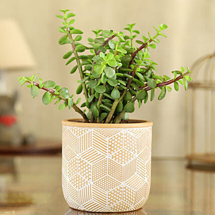 Jade Plant In Yellow And White Engraved Ceramic Pot