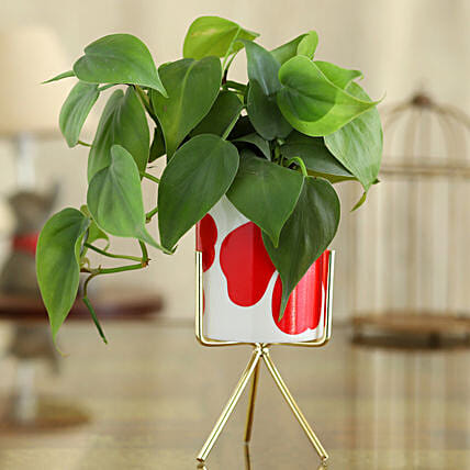 Oxycardium Plant In Flower Print Pot With Golden Stand