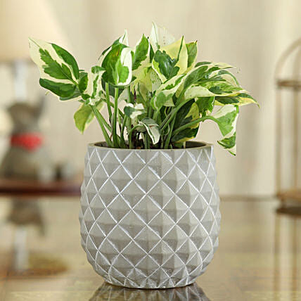White Pothos Plant In Grey And White Oval Pot