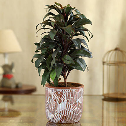 Baby Cordyline Plant Red And White Ceramic Pot