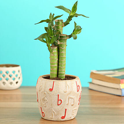 Cut Leaf Bamboo Plant In Musical Planter