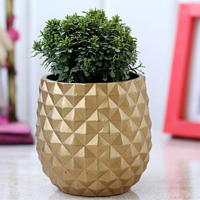 Table Kamini Plant In Golden Planter