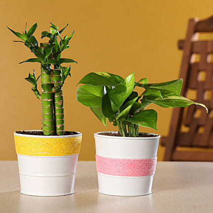 Cut Leaf Bamboo N Money Plant Combo In Coated Pot