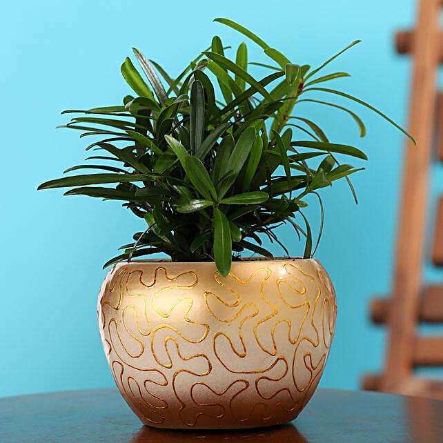 Podocarpus Plant In Embroidered Enamel Print Pot