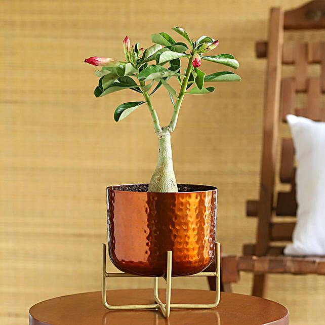 Adenium Desert Rose Plant In Hammered Pot:Bonsai Tree