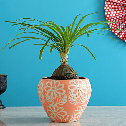 Airpurifying Nolina Palm Plant In Pink Ceramic Pot