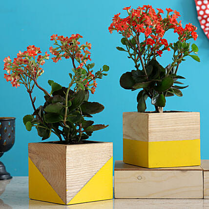 Kalanchoe Plant Duo In Yellow Natural Wood Planters