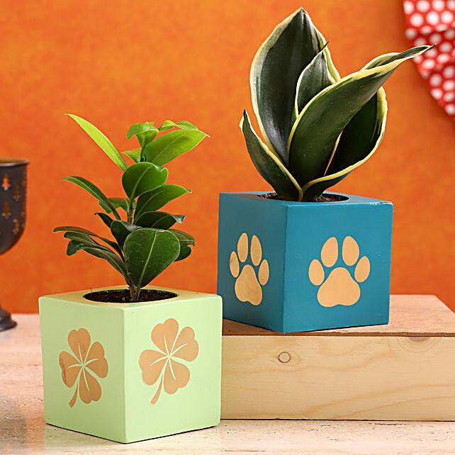 Milt Sansevieria Ficus Compacta Plant Combo In Wooden Pots