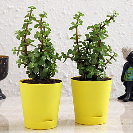 Jade Plant Duo In Self Watering Pots With Plastic Plates Hand Delivery