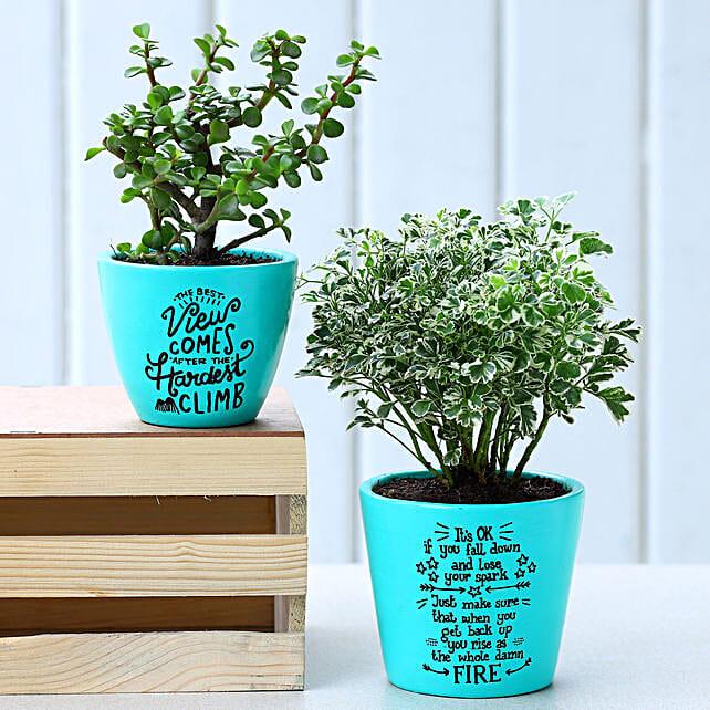 Jade and Aralia Plant In Handpainted Aqua Green Pots