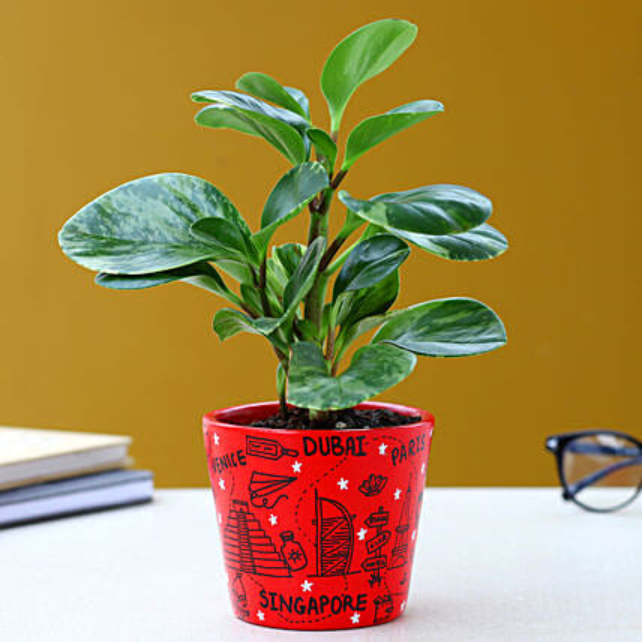 Peperomia Plant In Travel Doodle Ceramic Pot