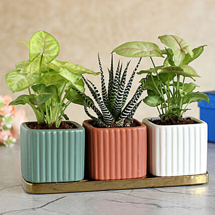 3 Refreshing Plants In Square Pots With Golden Plate
