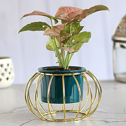 Pink Syngonium Plant In Dark Green Pot With Stand