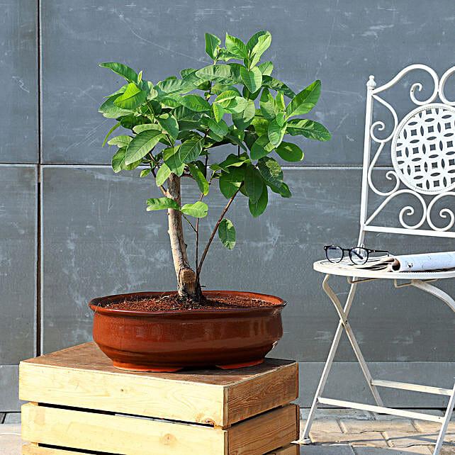 Guava Bonsai Plant In Brown Tray Planter
