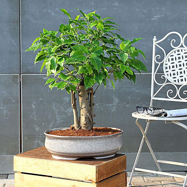 Pipal Bonsai Plant In White Tray Planter