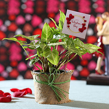 Online Syngonium Plant For Valentine's Day