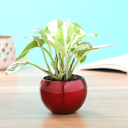Pothos Plant in Metal Pot