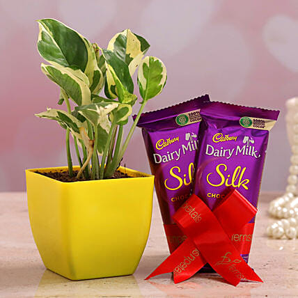 White Pothos Plant Dairy Milk Silk Combo Hand Delivery