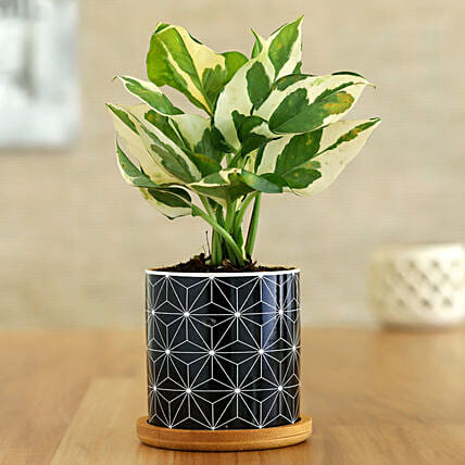 White Pothos Plant In Black Pot With Wooden Plate