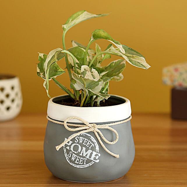 White Pothos Plant In Grey White Ceramic Planter