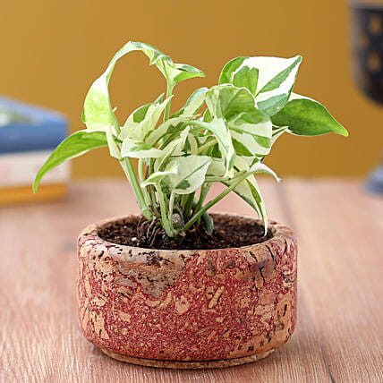 White Pothos Plant In Round Pot