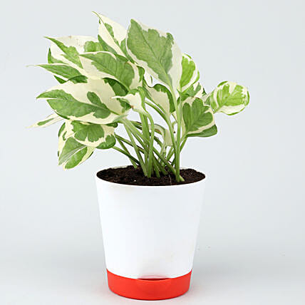 White Pothos Plant In Self Watering White Pot Hand Delivery