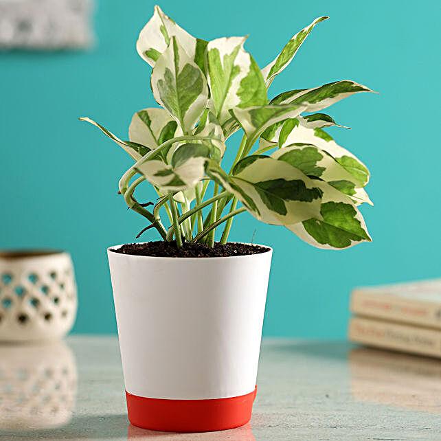 White Pothos Plant In Self-Watering White Pot