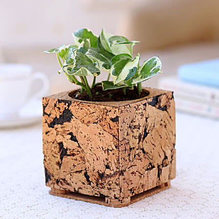 Pothos Plant in Square Cork Planter