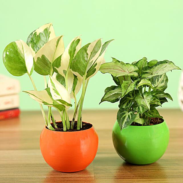Online White Pothos & Syngonium Plant Combo