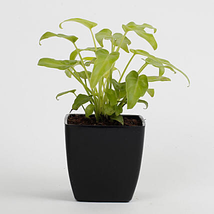 online philodendron plant