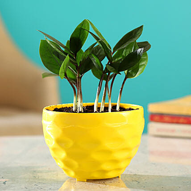 Zamia Plant in Maxwell Pot
