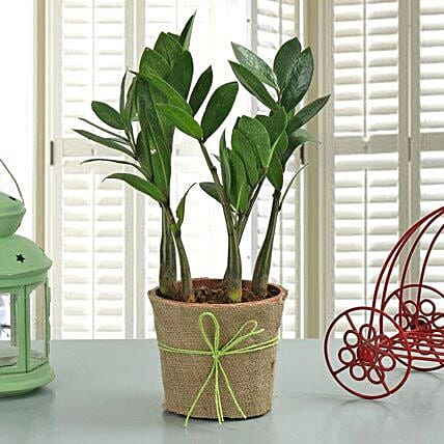 Zamia plant in a vase
