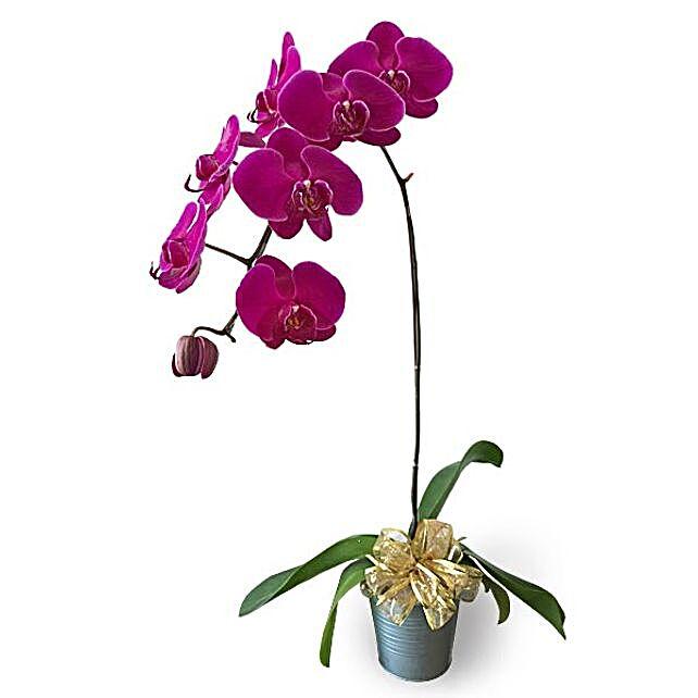 Purple Phalaenopsis Potted Orchid