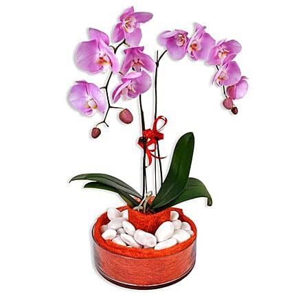 Phalaenopsis Live Orchid