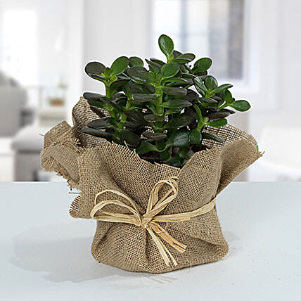 Crassula Minor With Jute Wrapped Pot